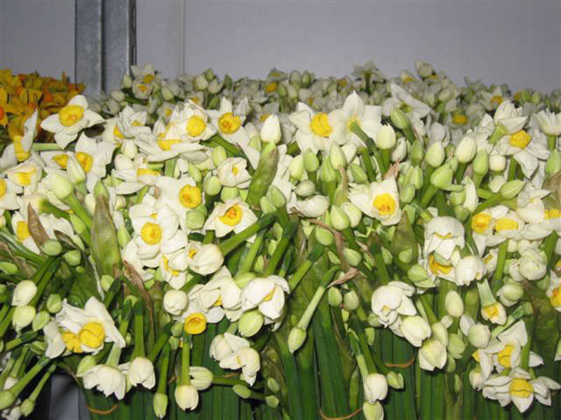 Narcissi from Pelistry Farm, Scilly